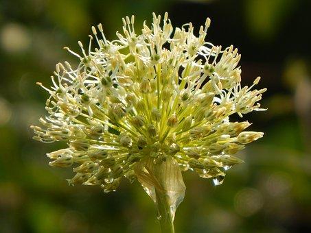 Leek, Ball Leek, Blossom, Bloom, Allium