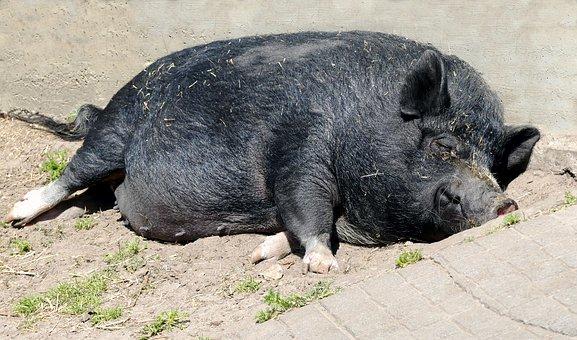 Animal, Pig, Pot Bellied Pig, Farm, Mammal, Tired