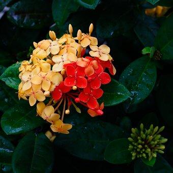 Ixoria, Bicolor, Mutant, Flower, Garden