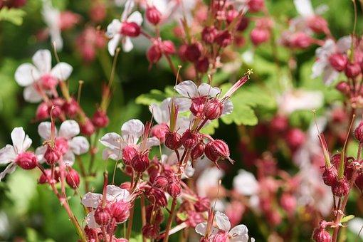 Cranesbill, Geraniaceae, Blossom, Bloom, Bloom