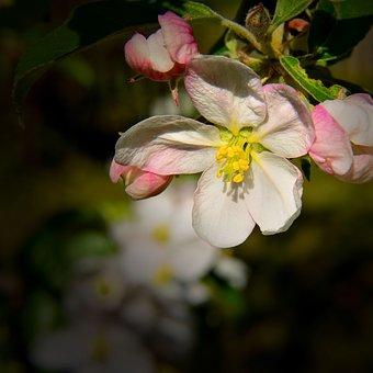 Apple Blossom, Nature, Spring, Apple Tree, Tree, Bloom