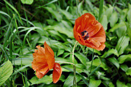 Poppy, Poppy Flowers, Red, Blossom, Bloom Closeup