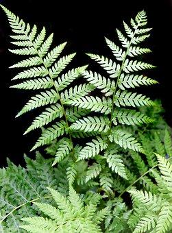 Fern, Plant, Leaf, Green, Botany, Garden, Nature