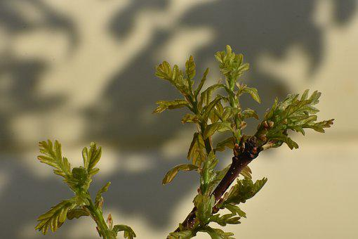 Spring, Oak, Shoots, Young, Branch, Tree, Nature