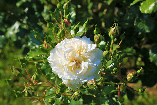 Rose, Spring, White, Bud, Nature, Orange, Beautiful