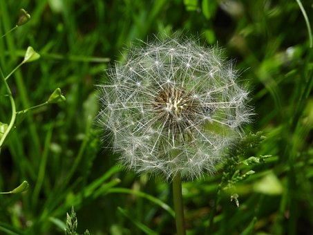 Dandelion, Sonchus Oleraceus, Spring, Meadow, Green