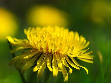 Dandelion, Money, Flower, Spring, Taraxacum, Summer