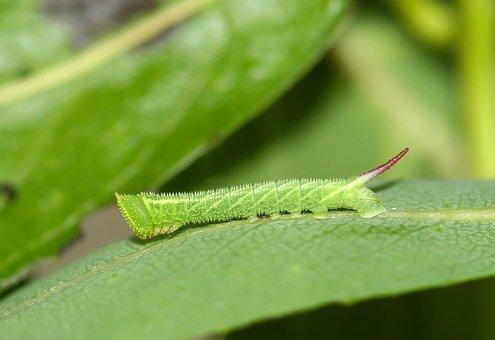 Eyed-hawk-moth, Caterpillar, Green, Horn, Tail, Nature