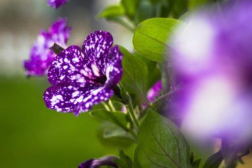Night Sky Petunia, Flower, Petunias, Purple, Spring