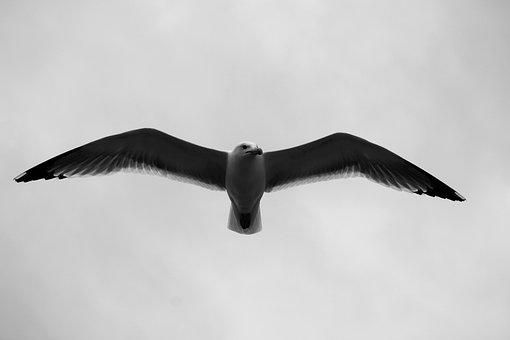 Gulls, Birds, Fly, Seagull, Flight