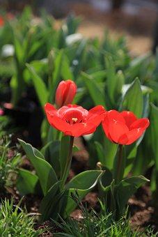 Tulip, Flowers, Spring, Nature, Garden, Plants, Red