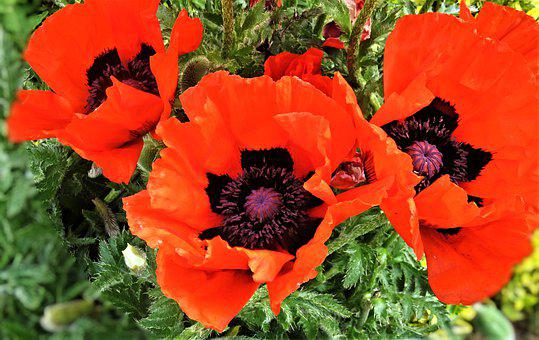 Flower, Poppy, Klatschmohn, Ornamental Plant, Garden