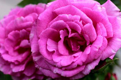Rosa Zéphirine Drouhin, Rose, Romantic Rose, Garden
