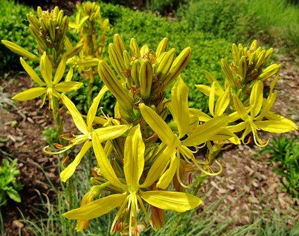 Asphodeline Lutea, Junker Lily, Goldwurz