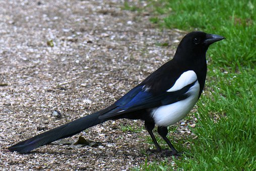 Magpie, Bird, Beak, Birds, Wing, Tail, Spring, Grass