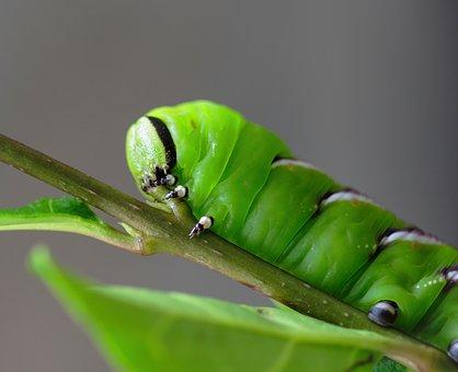 Privet-hawk-moth, Caterpillar, Green, Horn, Tail