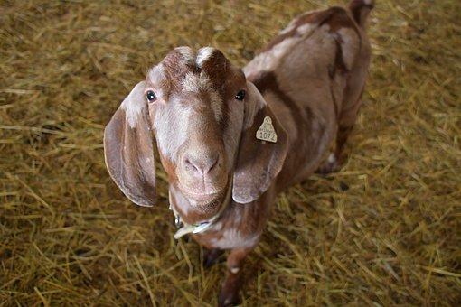 Goat, Farm, Hay, Livestock, Animal, Barn