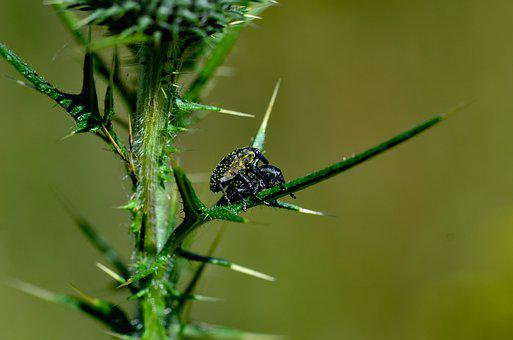 Big Weevil, Nature, Insect, Pair, Beetle, Animal