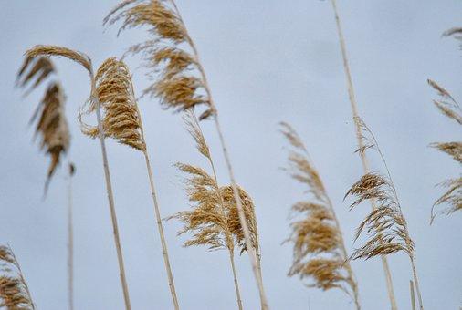 Phragmites Australis, Reed, Nature, Wind, Lake, Plant