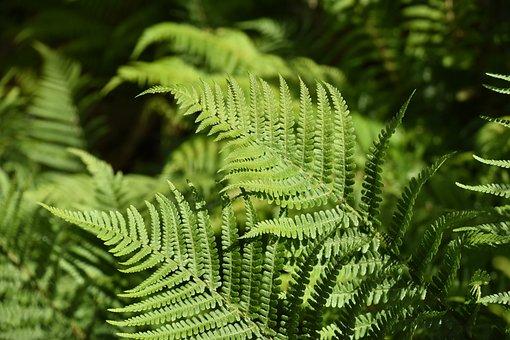 Plant Fern, Fern, Under Wood, Plant, Green, Leaves