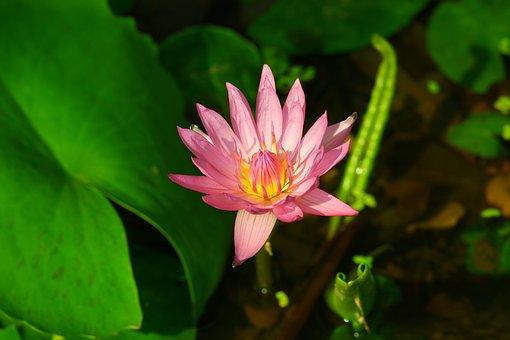 Flower, Garden, Green, Lake, Leaf, Lotus, Meditation