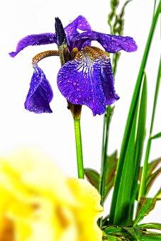Iris, Violet, Flower, Plant, Nature, Blossom, Bloom
