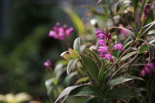 I, Orchid, Flowers, Nature, Plants, Oriental Am