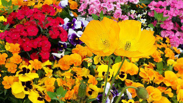 Poppy, Pansy, Flowers, Plants, Spring, Garden, Nature