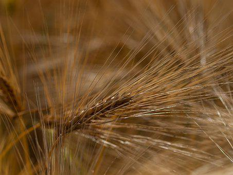 Cereals, Field, Nature, Agriculture, Wheat, Cornfield
