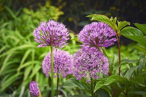 Flowers, Ornamental Onion, Plant, Allium, Purple
