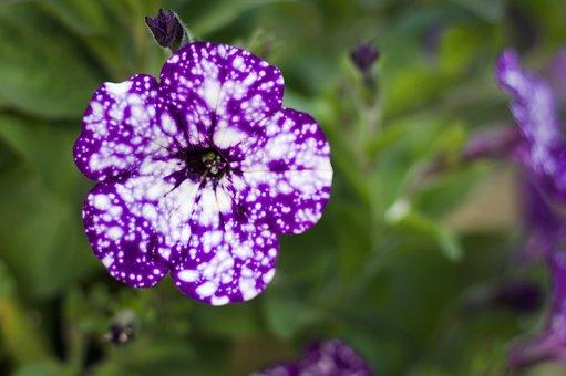 Night Sky Petunia, Petunia, Flower, Blossom, Purple