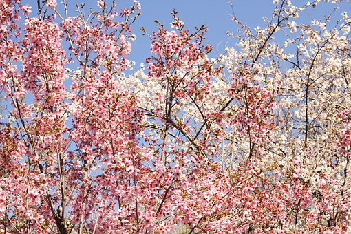 Flowers, Clusters, Pink Branches, Branches