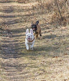 French Bulldog, Funny, Puppy, Run, Pet, Animal, Cute