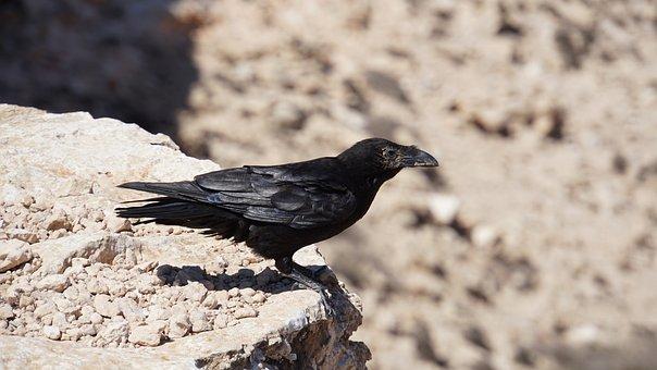 Raven, Crow, Bird, Animal, Black, Rock, Stones