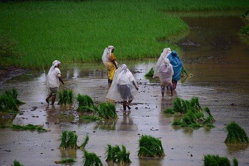 Paddy, Rice Fields, Farmers
