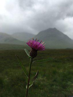 Scotland, Thistle, Scottish, Flower, Nature, Purple