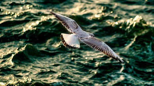 Seagull, Sea, Bird, Nature, Flight, Wing, Water