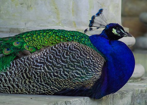 Peacock, Bird, Blue, Colored, Tom, Sitting, It Lies