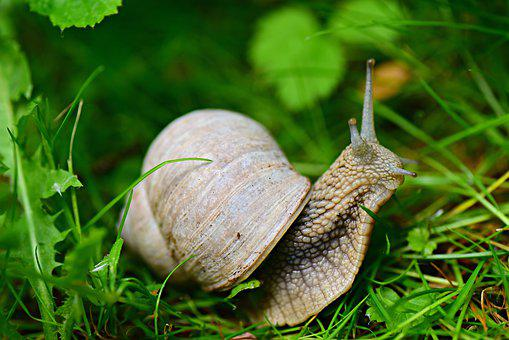 Snail, Shell, Gastropod, Animal, Invertebrate, Wildlife