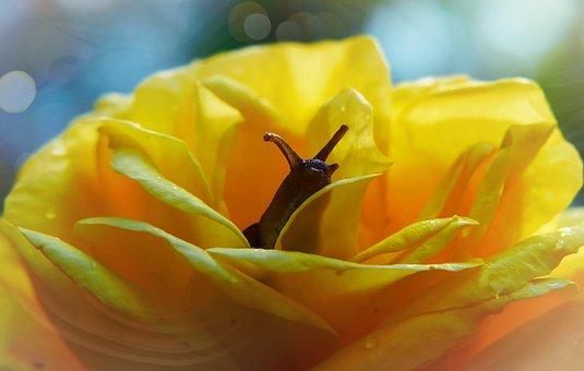 Rose, Flower, The Petals, Snail, Molluscum, Vegetation