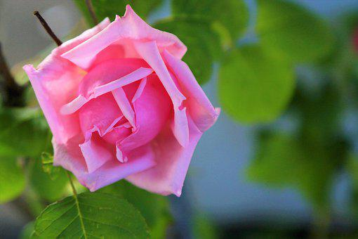 Rose, Spring, Pink, Beautiful, Nature, Plant, Romantic