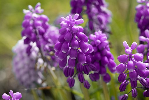Grape Hyacinth, Flowers, Bloom, Spring, Spring Flowers