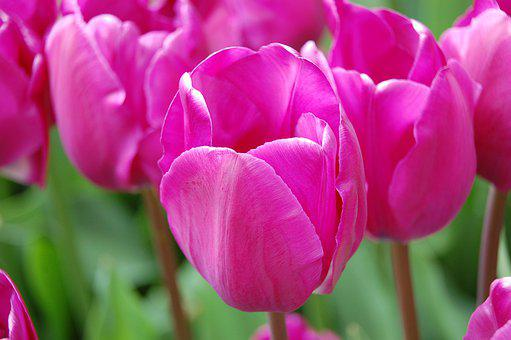 Tulip, Nature, Spring, Flowers, Garden, Pink, Bloom
