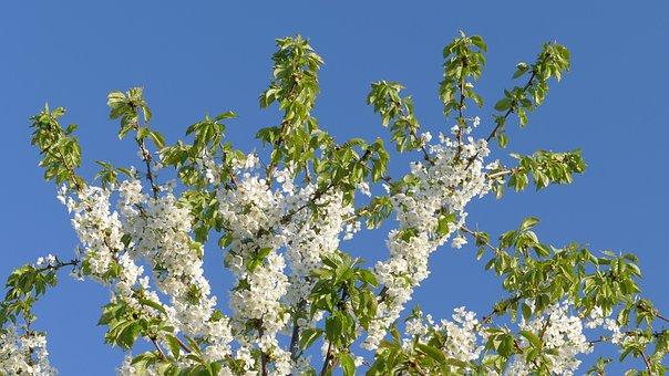 Cherry, Spring, Flowers, April, Nature, Tree, Flower