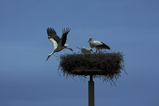 Stork, Bird, Wing, Animals, Rattle Stork, Animal World
