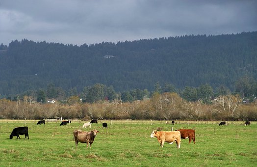 Cows, Cattle, Agriculture, Livestock, Pasture, Grass