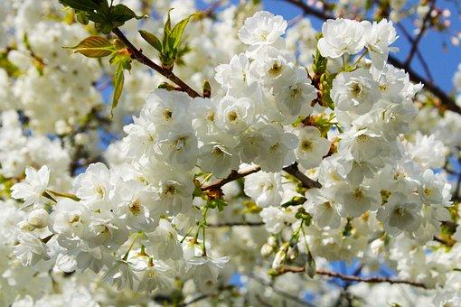Japanese Cherry Trees, Flowers, Background, White