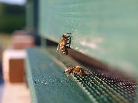 Honey Bee, Insect, Bee, Honey, Beehive, Nature, Pollen