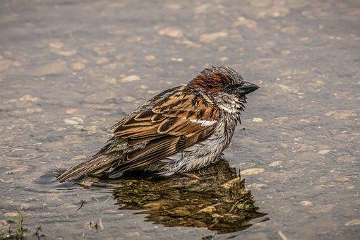 Sparrow, Bird, Water, Bad, Swim, Wet, Sperling, Nature