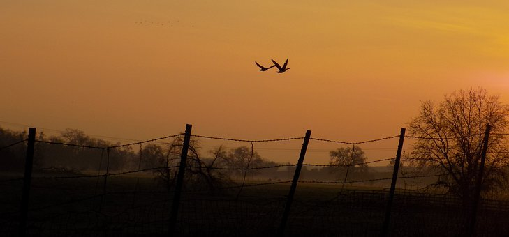 Geese, Sunset, Flight, Fence, Birds, Nature, Flying